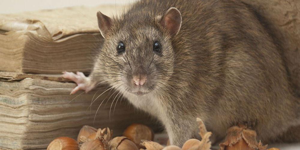 Plaga de ratones en casa elegant plaga de cucarachas y - Eliminar ratas en casa ...